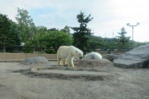 หมีขาว กับ ระยะ ยังไกล
