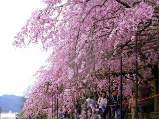 Pohon sakura menauingi jalan di sepanjang sungai
