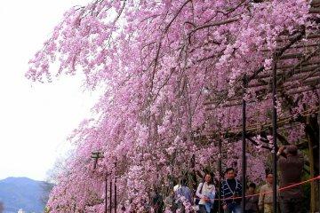 아름다운 벚꽃이 강을 따라 흐르는 길 위로 흘러내린다