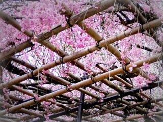 Kisi bambu menahan jejak merah jambu