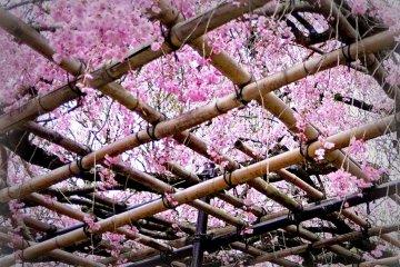 격자 모양의 대나무에는 분홍꽃이 피어 있다