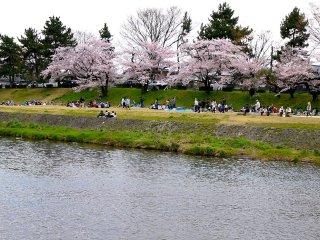 Berpiknik di bawah pohon sakura