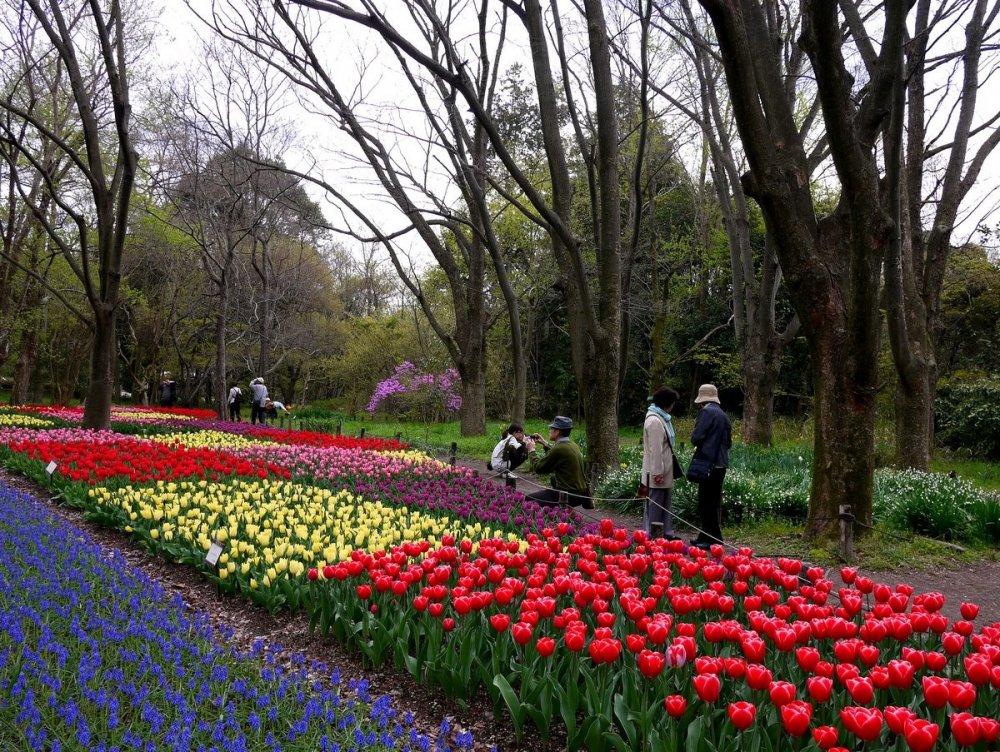 Petak kebun beraneka warna tulip