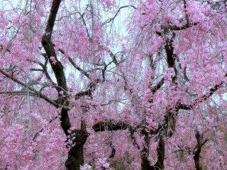 Pohon sakura dengan dahan yang berjuntai-juntai
