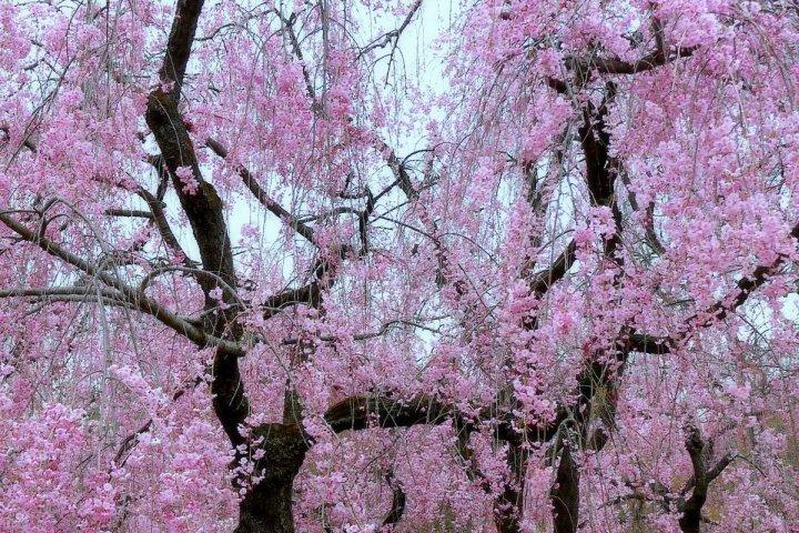 ฤดูใบไม้ผลิแห่งสวนพฤกษศาตร์เกียวโต