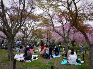 Orang-orang piknik di bawah pohon sakura