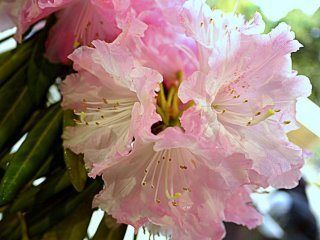 Di sana juga ada pameran rhododendron