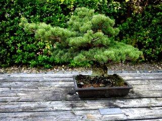 Lush pine needle growth