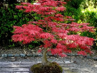 Spring color on a maple tree
