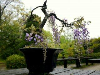 Bonsai wisteria in bloom