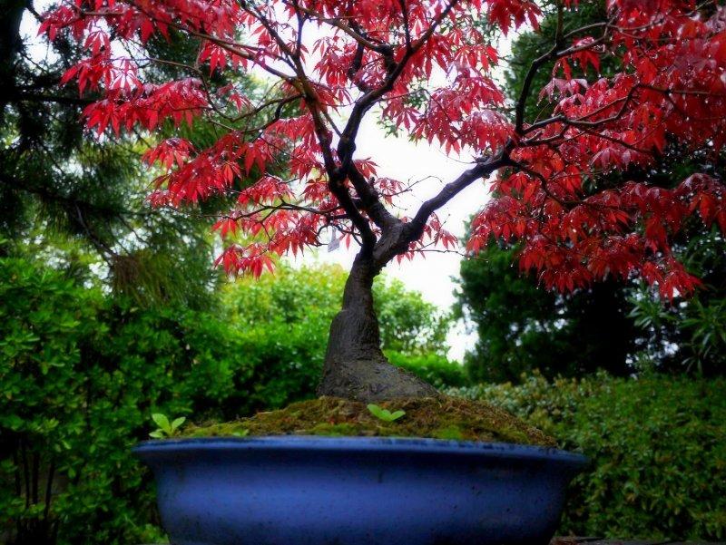 파란 그릇에 빨간 단풍나무