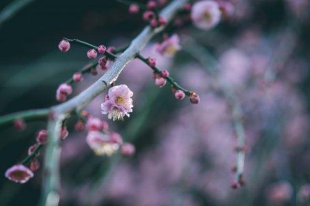 ดอกพลัมบานที่ Yushima Tenjin