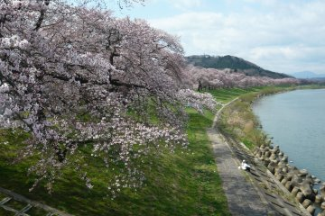 <p>The Shiroishi River, lined with cherry trees in full bloom</p>