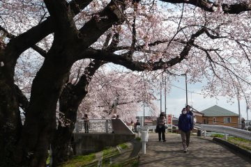<p>Local people strolling along the river enjoying cherry blossoms</p>