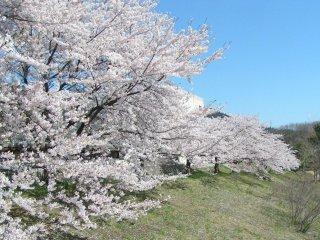土手に咲き誇る満開の桜
