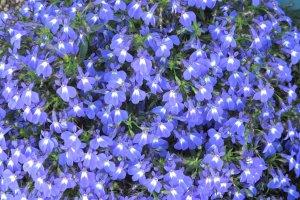 ดอกไม้งามแห่งเมืองบิเอะ