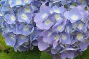 ดอกไม่สีฟ้าสวยเด่นสะดุดตาบนยอดเขาอูซูซัง