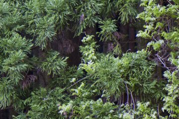 <p>Wild wisteria hangs from treetops and&nbsp;blooms in spring</p>