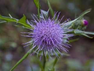 Thistle (azami) has an exquisite light purple color to it