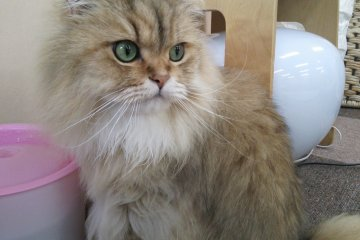 Nekorobi: Best Cat Cafe in Tokyo
