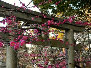 분홍빛 매화꽃과 돌로 만들어진 도리이