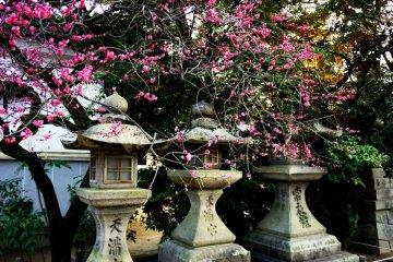 ดอกพลัมบานที่ Kitano-Tenmangu