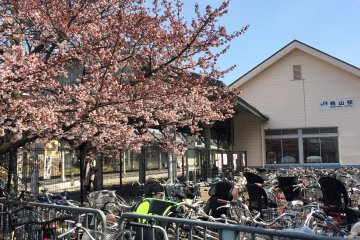 捎來京都春天氣息的河津櫻