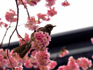 Цветение вишни Эдо-Хиган