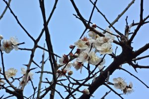 If you have a chance to visit Kamakura in February, the plum flowers in Egara-tenjin will welcome you with a nice sweet scent and their full blooming beauty.
