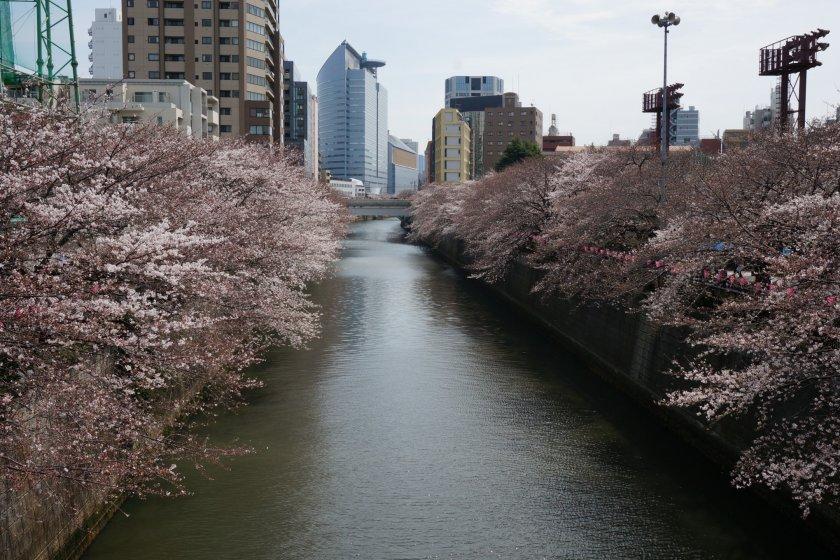 Meguro River เกือบจะถูกปกคลุมไปด้วยร่มซากุระแล้ว