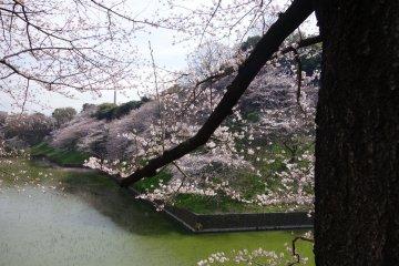 <p>ซากุระริมคูรอบวัง บรรยากาศโดยรวมดูธรรมชาติดีจัง</p>