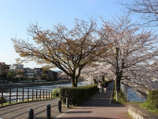 The river's beautifully maintained pathway is lined with flowering cherry blossom trees