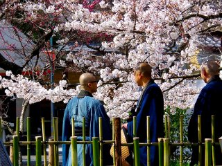 Priests enjoying cherry blossoms in full bloom