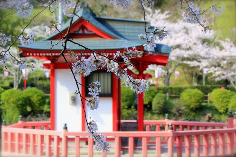 A close-up of the Yoshino Cherry blossoms and Bentendou