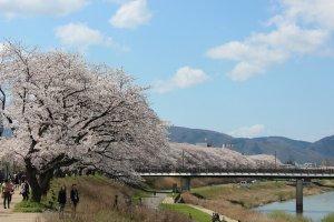 福井市内を流れる足羽川の南土手に植わるソメイヨシノ