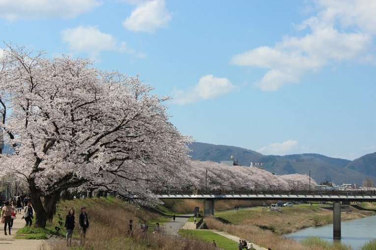 福井「足羽川の桜並木」