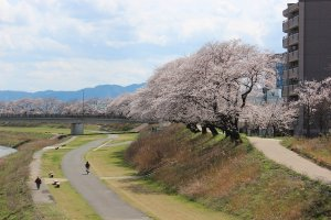 2.2kmに渡り、約600本の桜のトンネルが続いている
