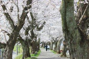 都会と違い、人混みなどは無縁だ。それぞれが自分のペースで歩き、花を愛でることができる