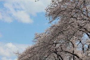 2004年夏の豪雨で決壊したこの足羽川土手。桜の木も老木を中心にかなり倒壊したりで被害を受けた。それでも残った木々はこのように見事な花を咲かせてくれる