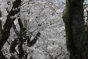 うねる幹の豪快な枝ぶりと、可憐で華麗な花の対照が際立つ