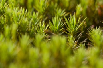 <p>Along the Susuki Plain you&#39;ll find beds of moss; this is a macro view</p>