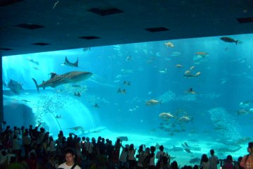 <p>Not quite the neighborhood sushi-shop: the panoramic Kuroshio tank.</p>