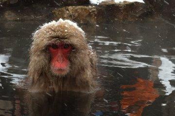 Snow monkey taking an onsen