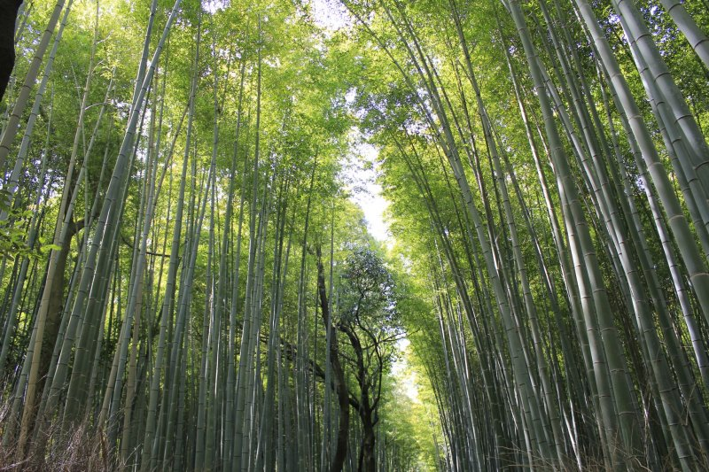 <p>Thousands of bamboo grow in line in Sagano Kyoto</p>