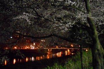 벚꽃과 조명 된 아스와 강둑. 멀리있는 다리를 사쿠라 다리다