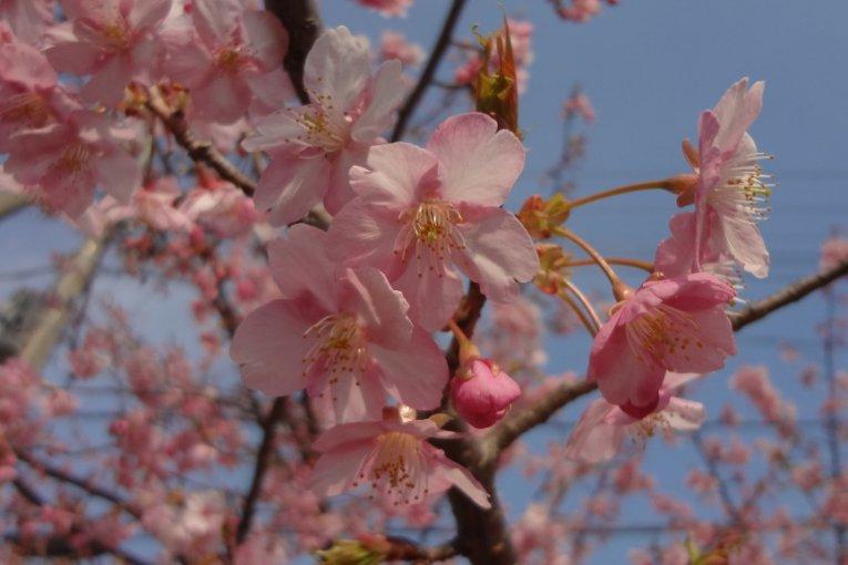 Las primeras flores de cerezo en Kanagawa