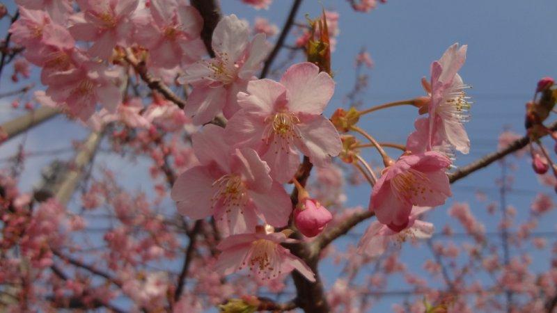 Gorgeous Kawazu-zakura cherry blossoms.