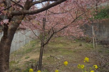 In addition to cherry trees, rape weed blossoms are in their full glory almost at the same time as the cherry blossoms.
