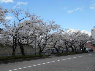 후쿠이 성 바로 앞에 서 있는 아름다운 벚나무