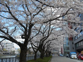 Cherry trees just outside of Fukui Castle